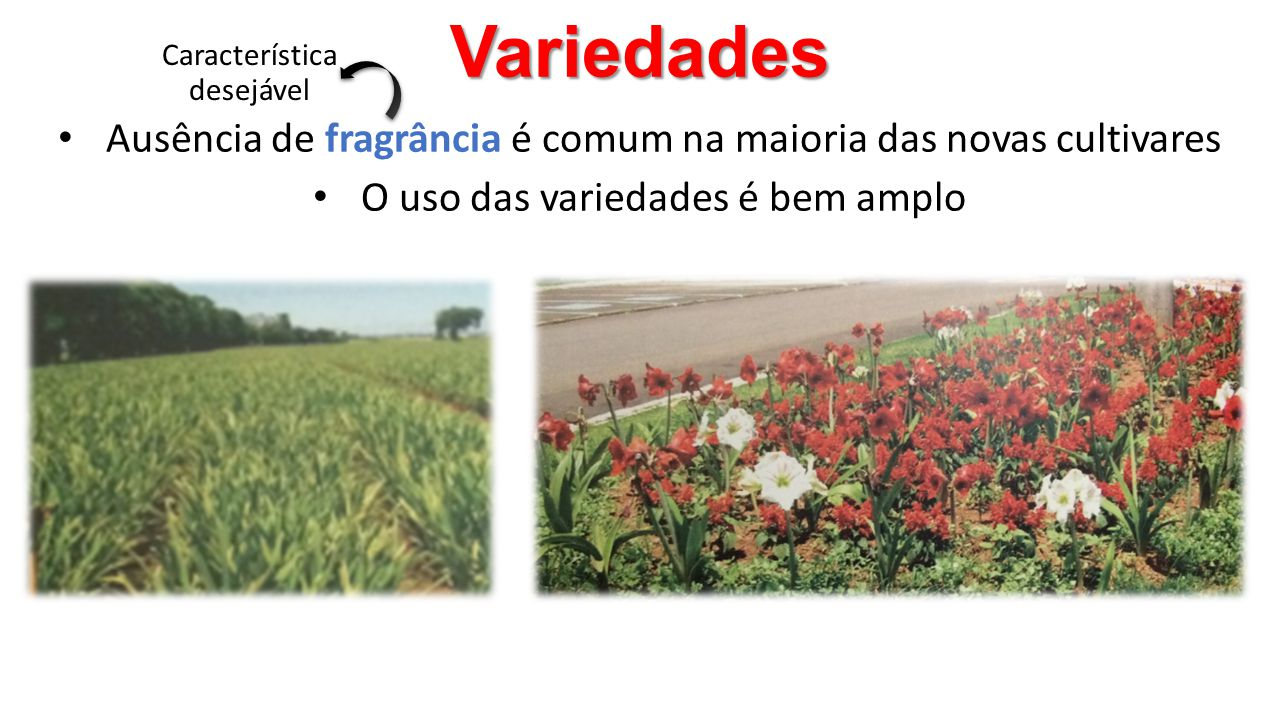 Variedades Característica desejável. Ausência de fragrância é comum na maioria das novas cultivares.