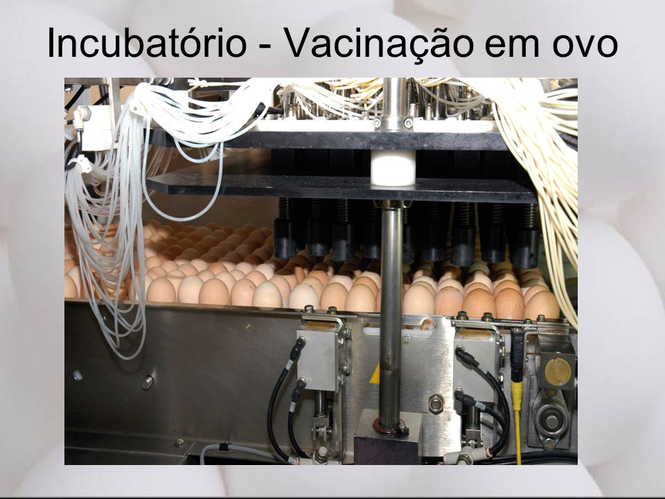 Incubatório - Vacinação em ovo