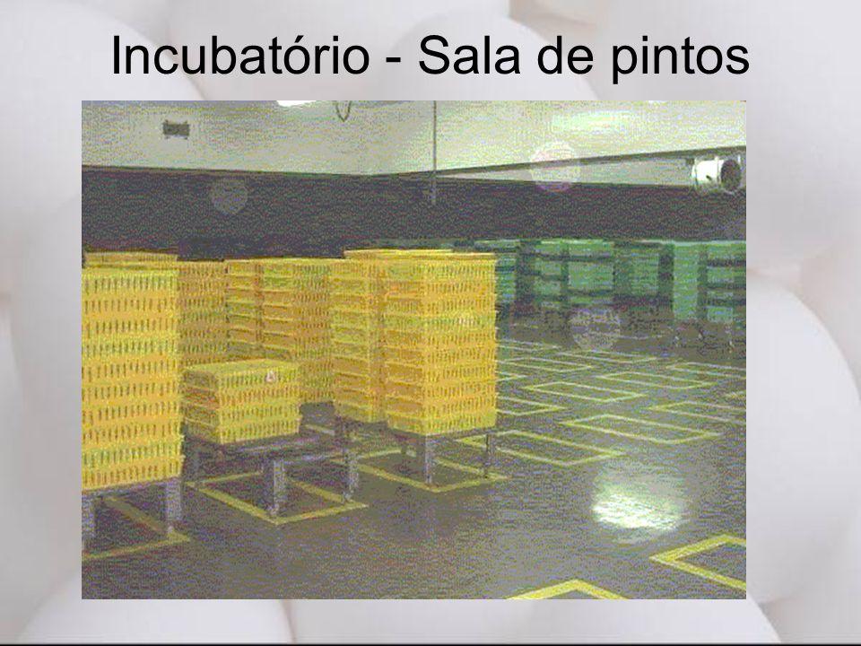 Incubatório - Sala de pintos