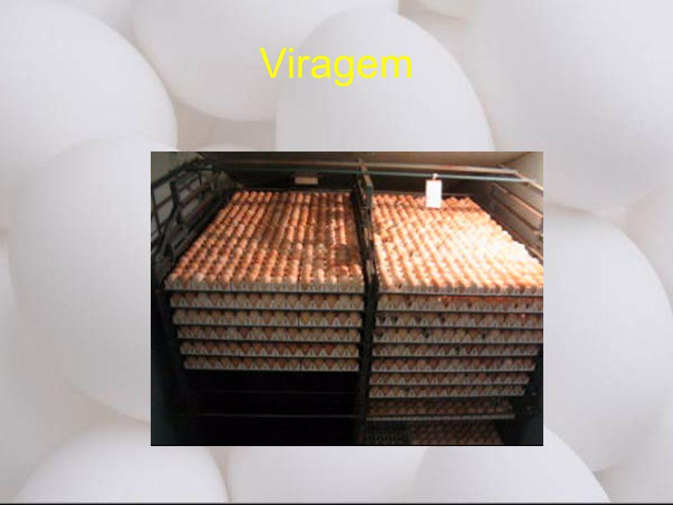 Viragem Ovos devem ser virados durante o processo de incubação. Isto para prevenir uma.