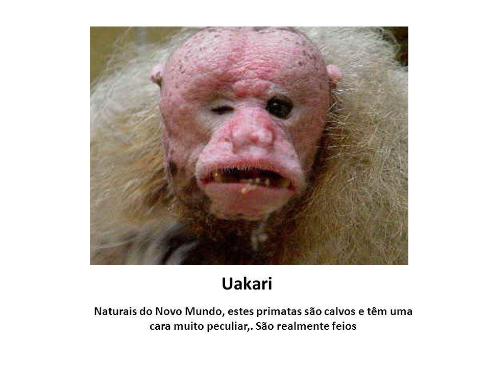 Uakari Naturais do Novo Mundo, estes primatas são calvos e têm uma cara muito peculiar,.