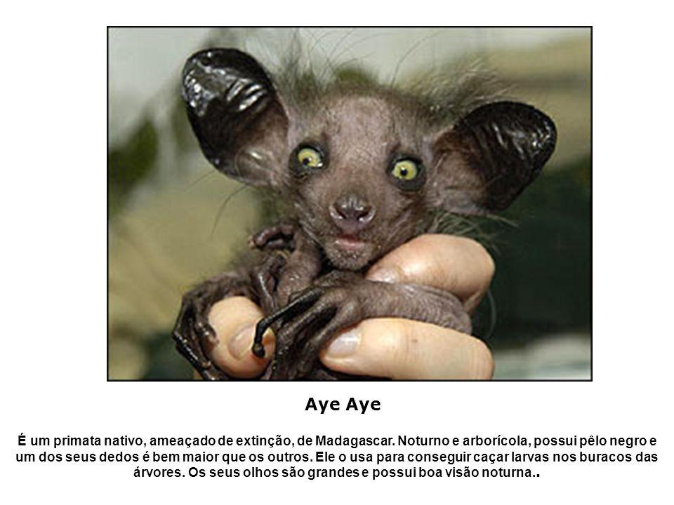 É um primata nativo, ameaçado de extinção, de Madagascar