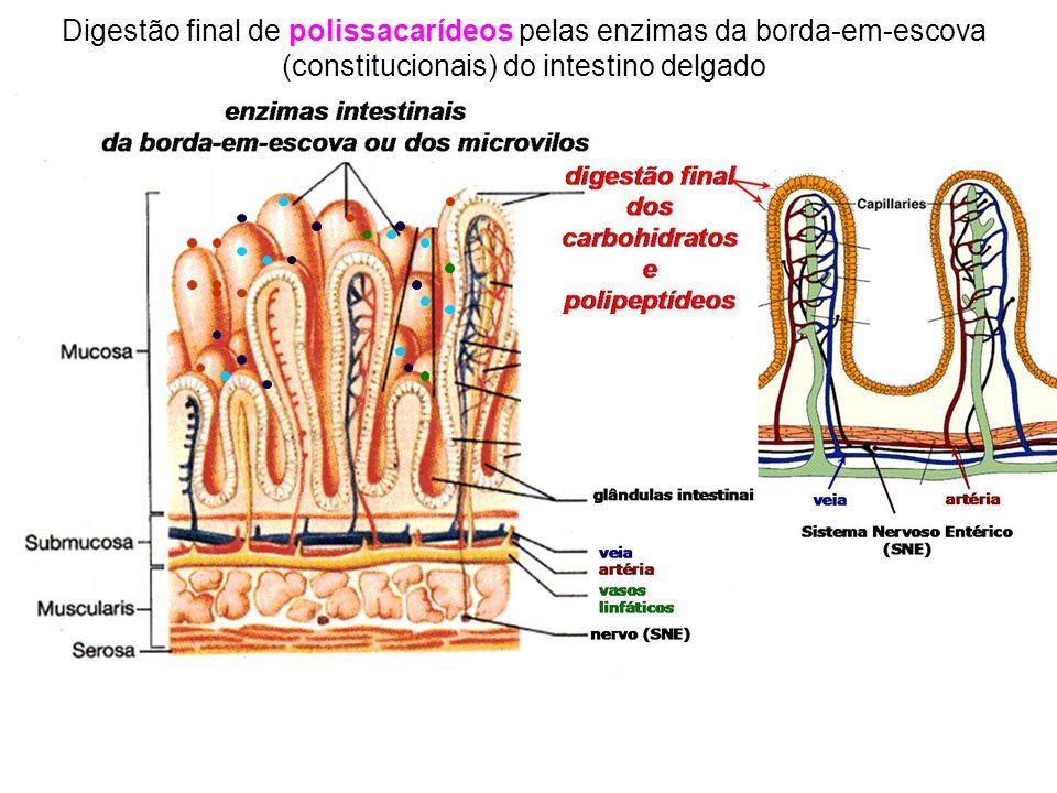 Digestão final de polissacarídeos pelas enzimas da borda-em-escova (constitucionais) do intestino delgado