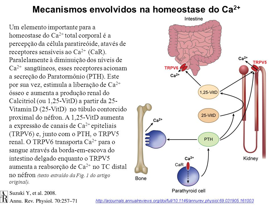 Mecanismos envolvidos na homeostase do Ca2+