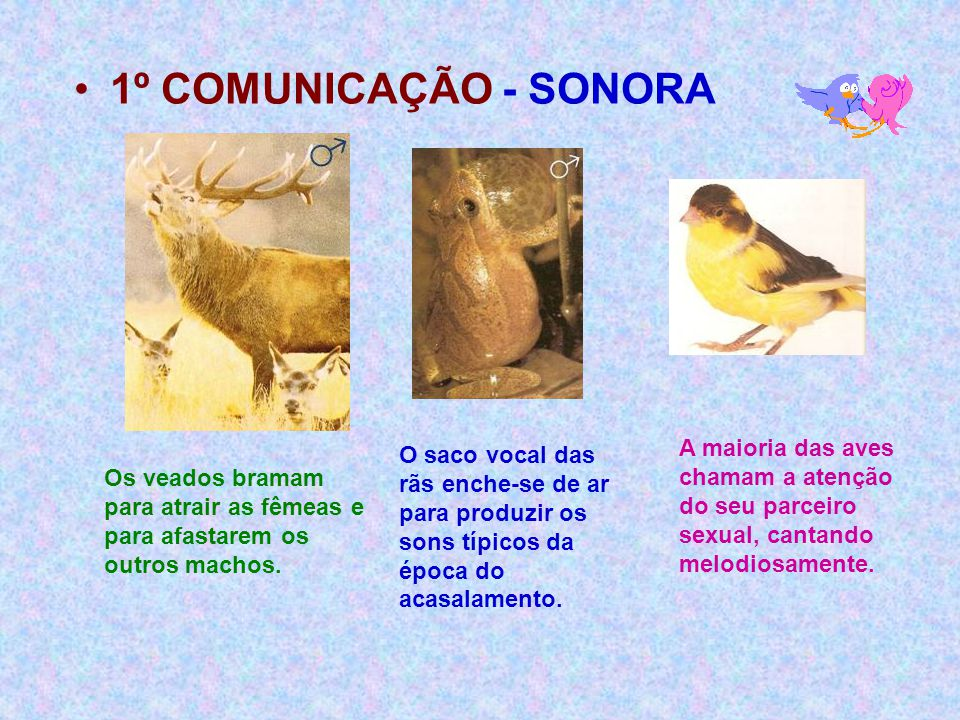 1º COMUNICAÇÃO - SONORA A maioria das aves chamam a atenção do seu parceiro sexual, cantando melodiosamente.