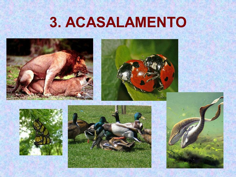 3. ACASALAMENTO
