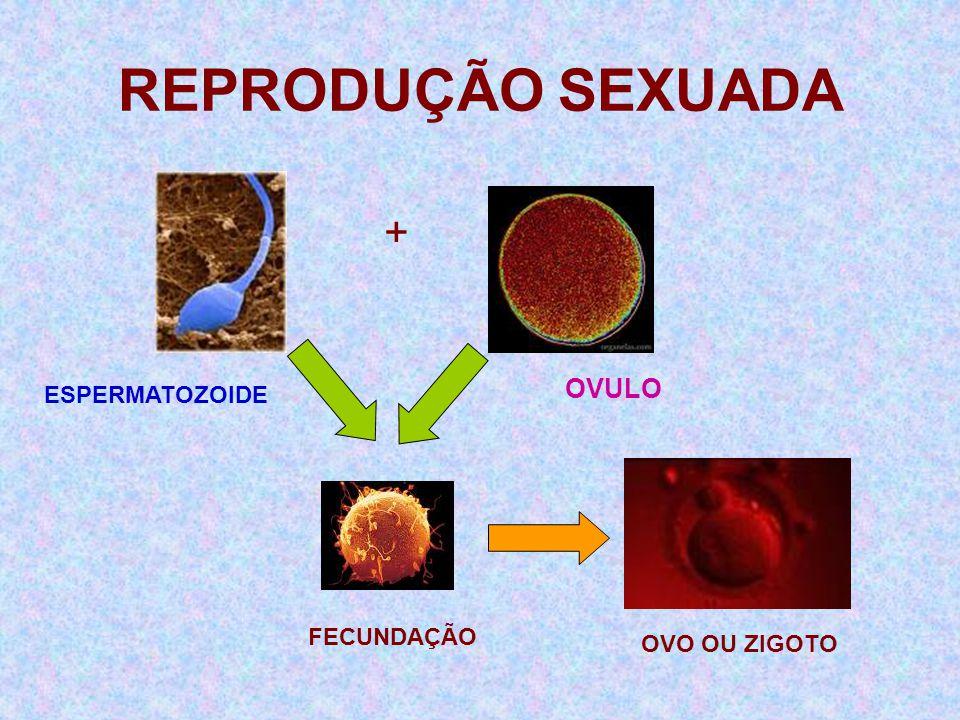 REPRODUÇÃO SEXUADA + OVULO ESPERMATOZOIDE FECUNDAÇÃO OVO OU ZIGOTO