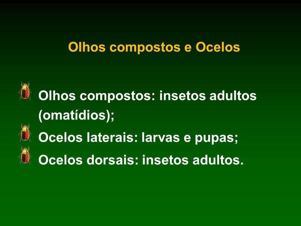 Olhos compostos e Ocelos