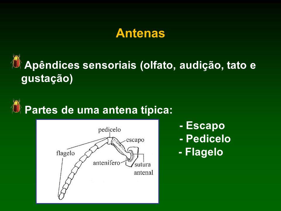 Antenas Apêndices sensoriais (olfato, audição, tato e gustação)