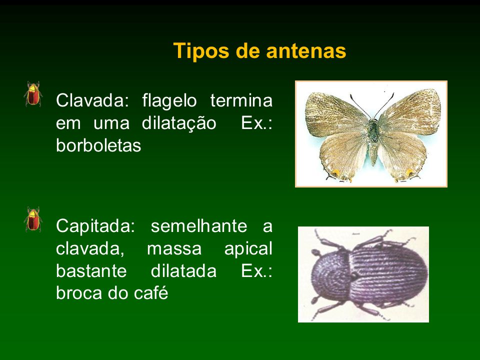 Tipos de antenas Clavada: flagelo termina em uma dilatação Ex.: borboletas.