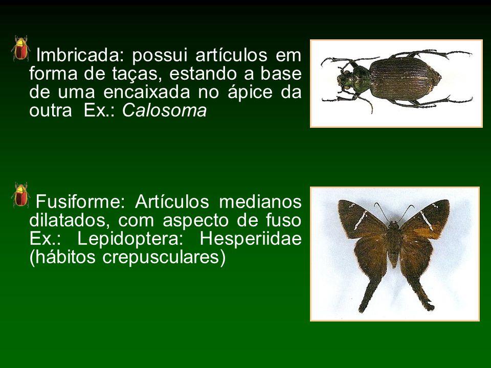 Imbricada: possui artículos em forma de taças, estando a base de uma encaixada no ápice da outra Ex.: Calosoma