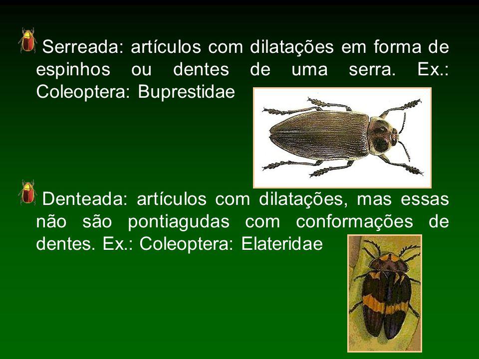 Serreada: artículos com dilatações em forma de espinhos ou dentes de uma serra. Ex.: Coleoptera: Buprestidae