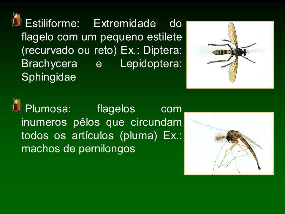 Estiliforme: Extremidade do flagelo com um pequeno estilete (recurvado ou reto) Ex.: Diptera: Brachycera e Lepidoptera: Sphingidae