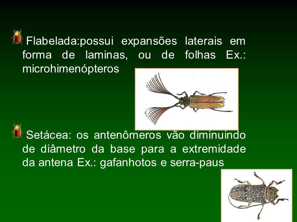 Flabelada:possui expansões laterais em forma de laminas, ou de folhas Ex.: microhimenópteros