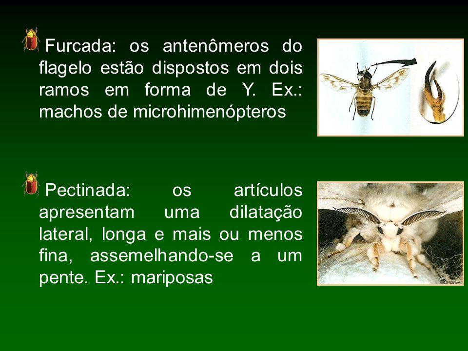 Furcada: os antenômeros do flagelo estão dispostos em dois ramos em forma de Y. Ex.: machos de microhimenópteros