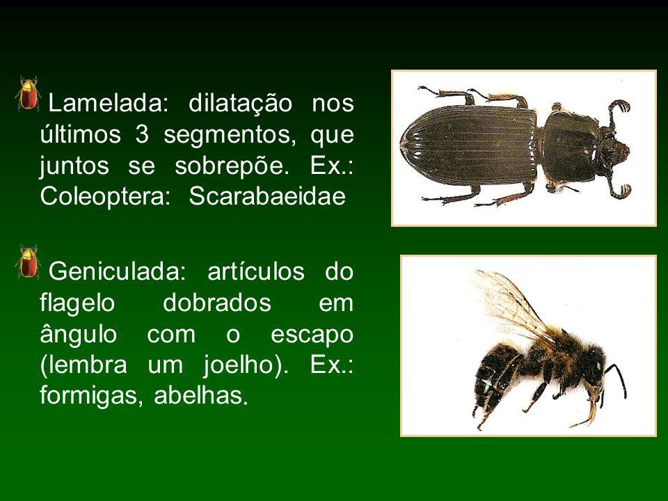 Lamelada: dilatação nos últimos 3 segmentos, que juntos se sobrepõe. Ex.: Coleoptera: Scarabaeidae
