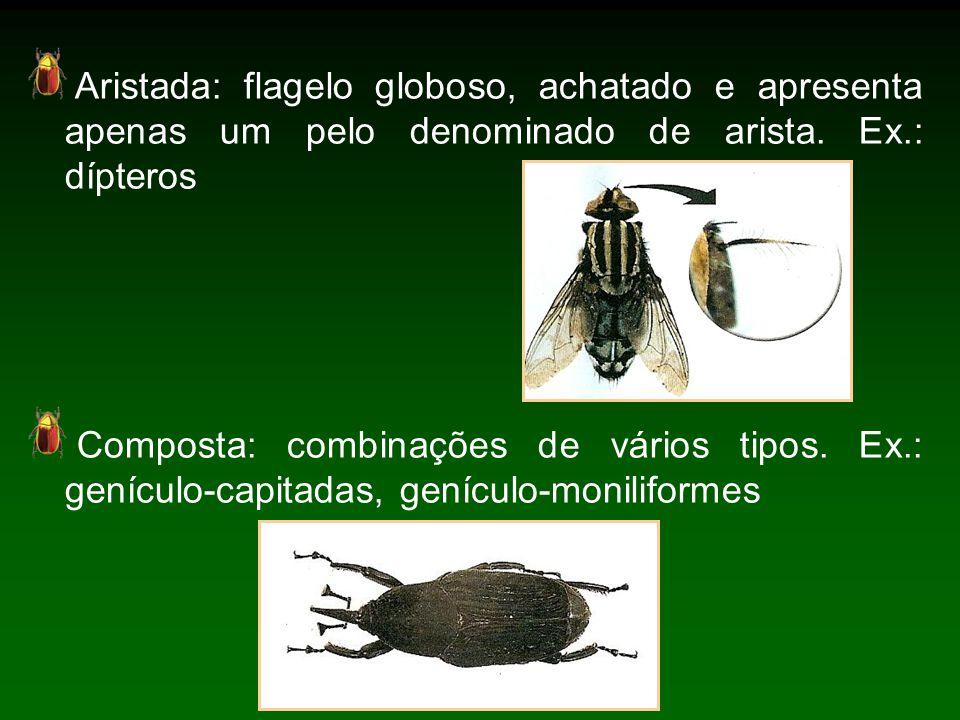 Aristada: flagelo globoso, achatado e apresenta apenas um pelo denominado de arista. Ex.: dípteros
