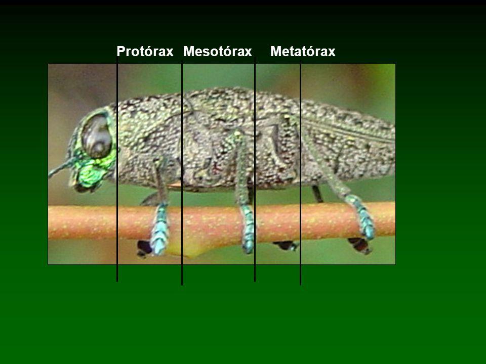 Protórax Mesotórax Metatórax