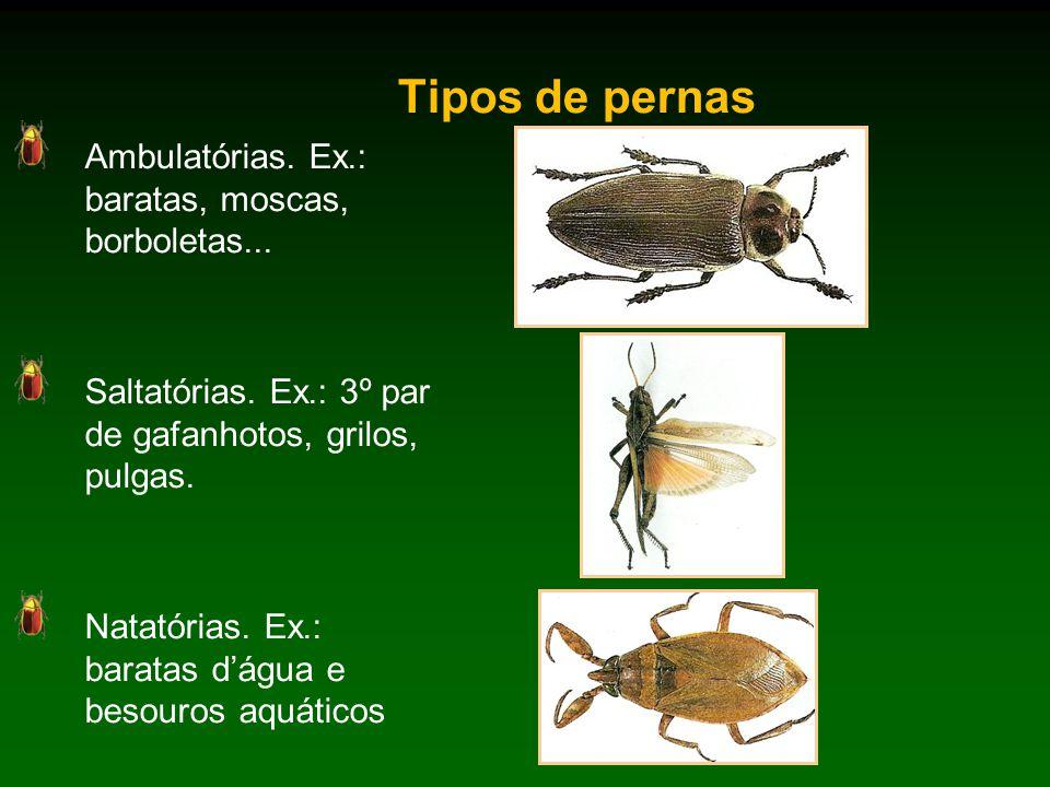 Tipos de pernas Ambulatórias. Ex.: baratas, moscas, borboletas...