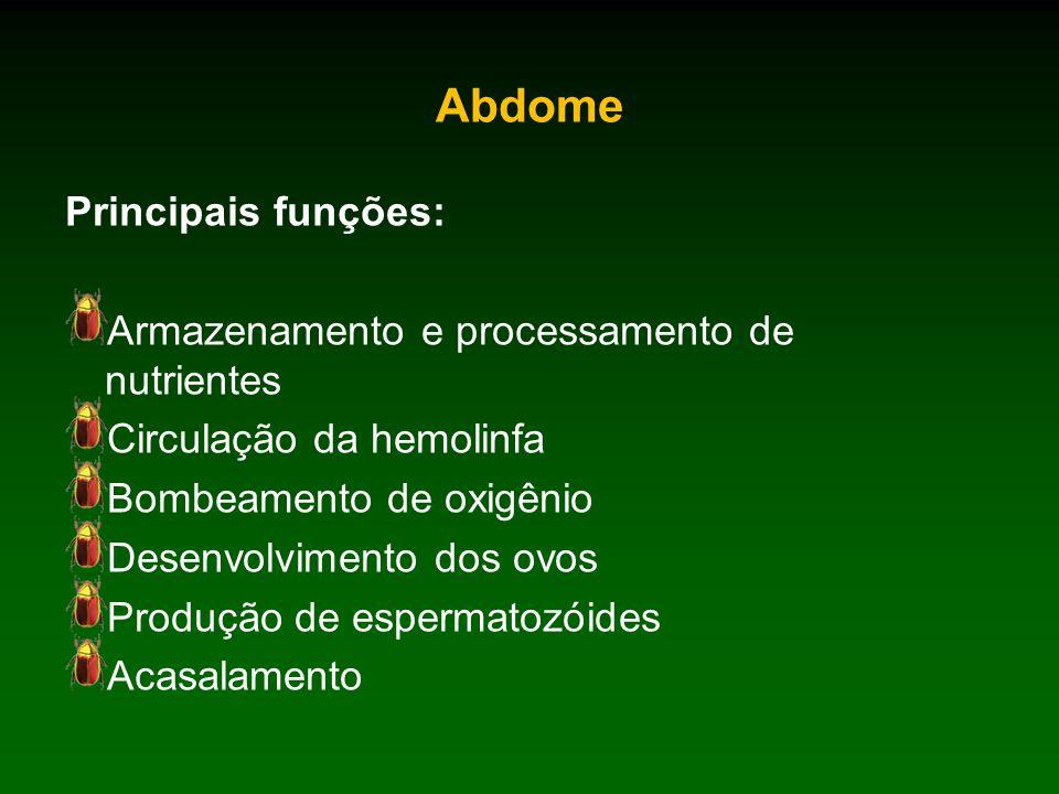 Abdome Principais funções: Armazenamento e processamento de nutrientes