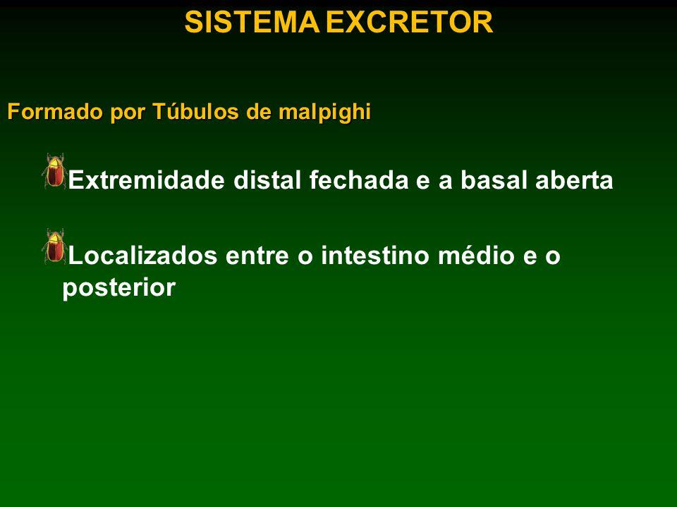 SISTEMA EXCRETOR Extremidade distal fechada e a basal aberta