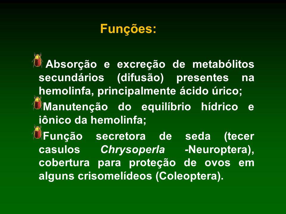 Funções: Absorção e excreção de metabólitos secundários (difusão) presentes na hemolinfa, principalmente ácido úrico;