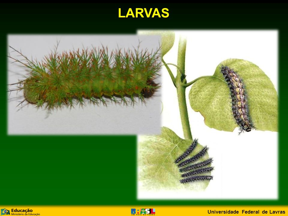 LARVAS Universidade Federal de Lavras