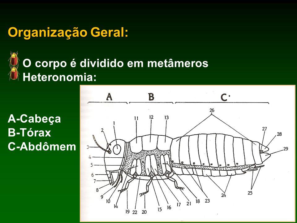 Organização Geral: O corpo é dividido em metâmeros Heteronomia: