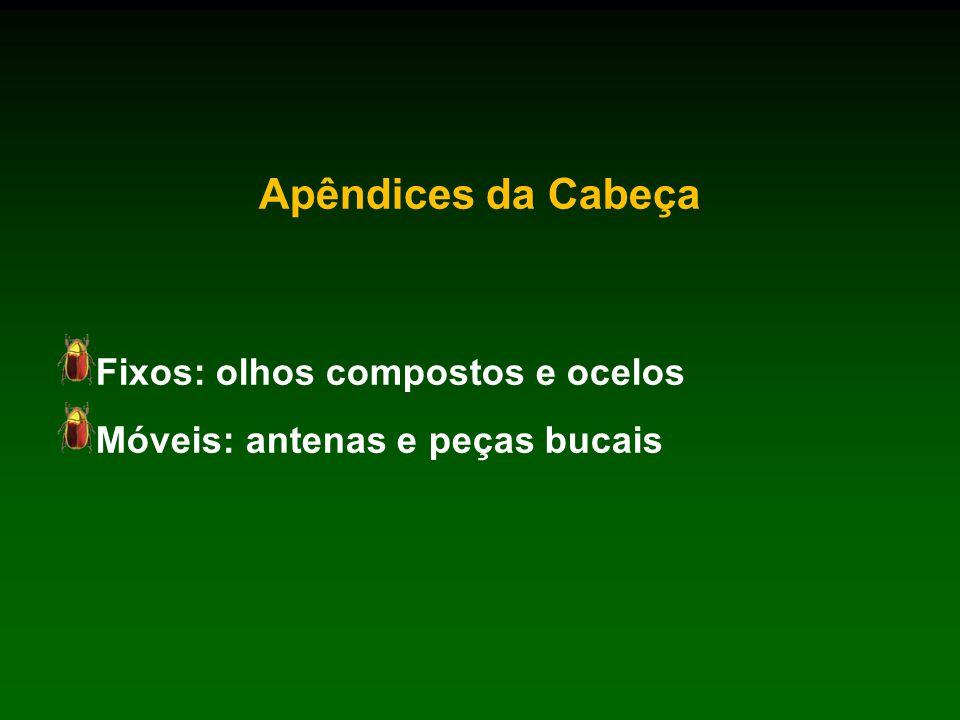 Apêndices da Cabeça Fixos: olhos compostos e ocelos