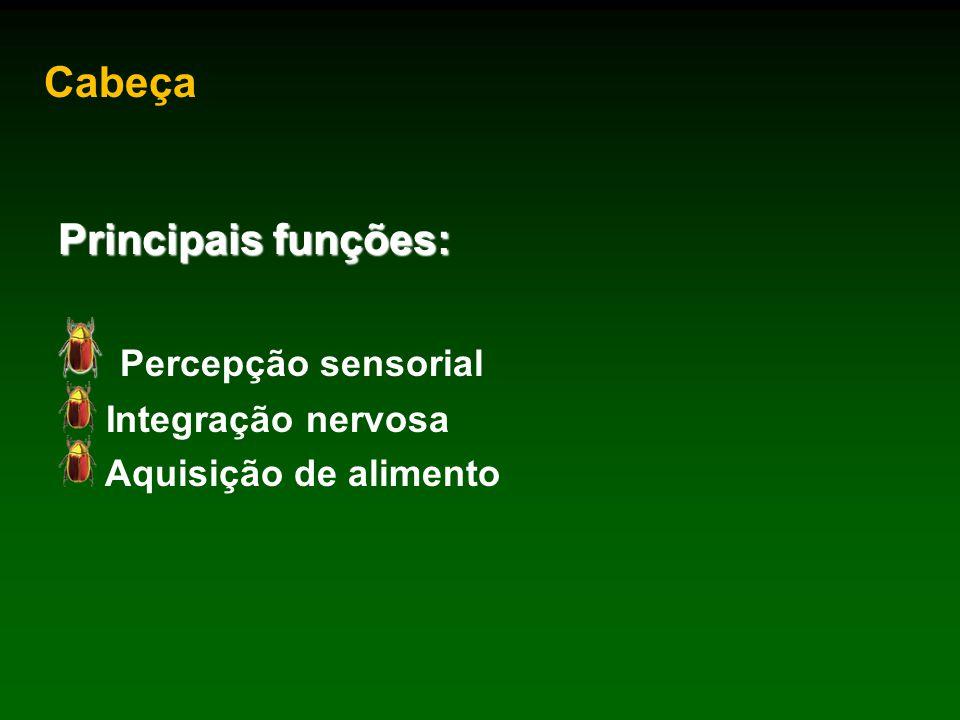 Cabeça Principais funções: Percepção sensorial Integração nervosa