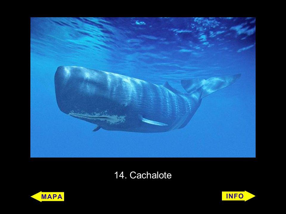 14. Cachalote