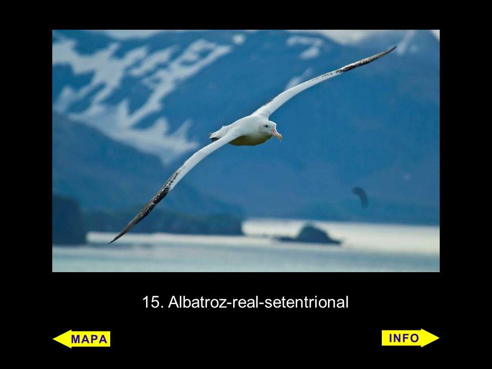 15. Albatroz-real-setentrional