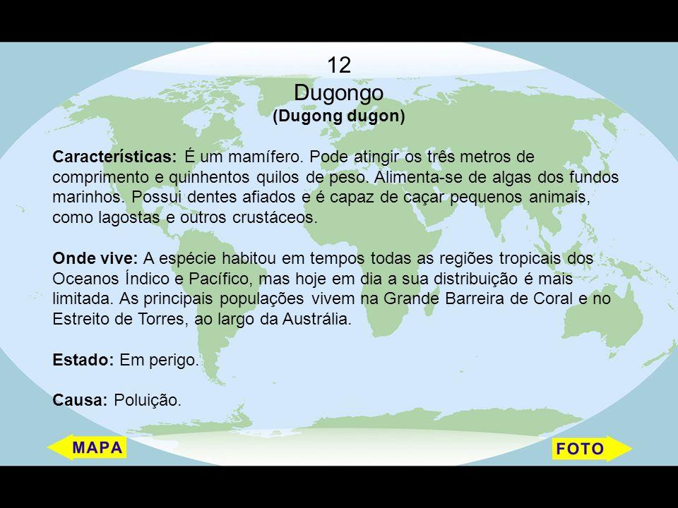 12 Dugongo (Dugong dugon)