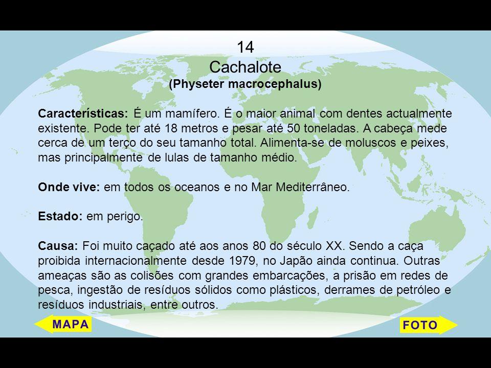 (Physeter macrocephalus)