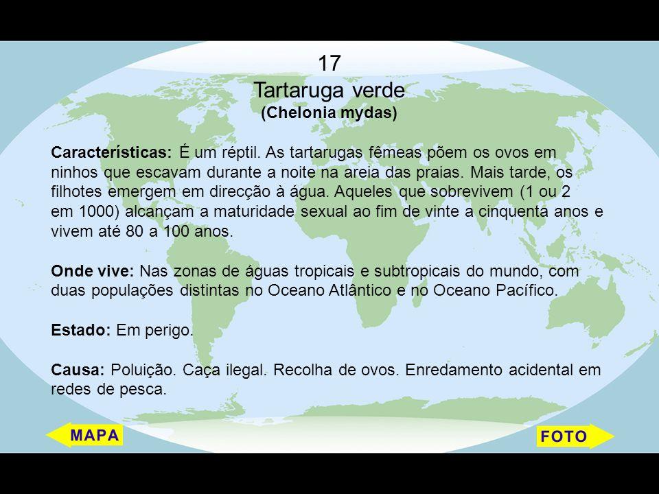 17 Tartaruga verde (Chelonia mydas)