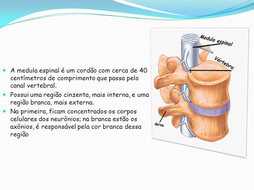 A medula espinal é um cordão com cerca de 40 centímetros de comprimento que passa pelo canal vertebral.