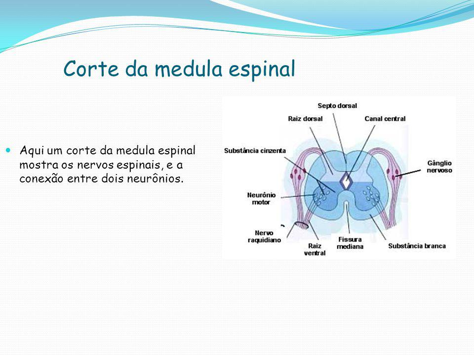 Corte da medula espinal