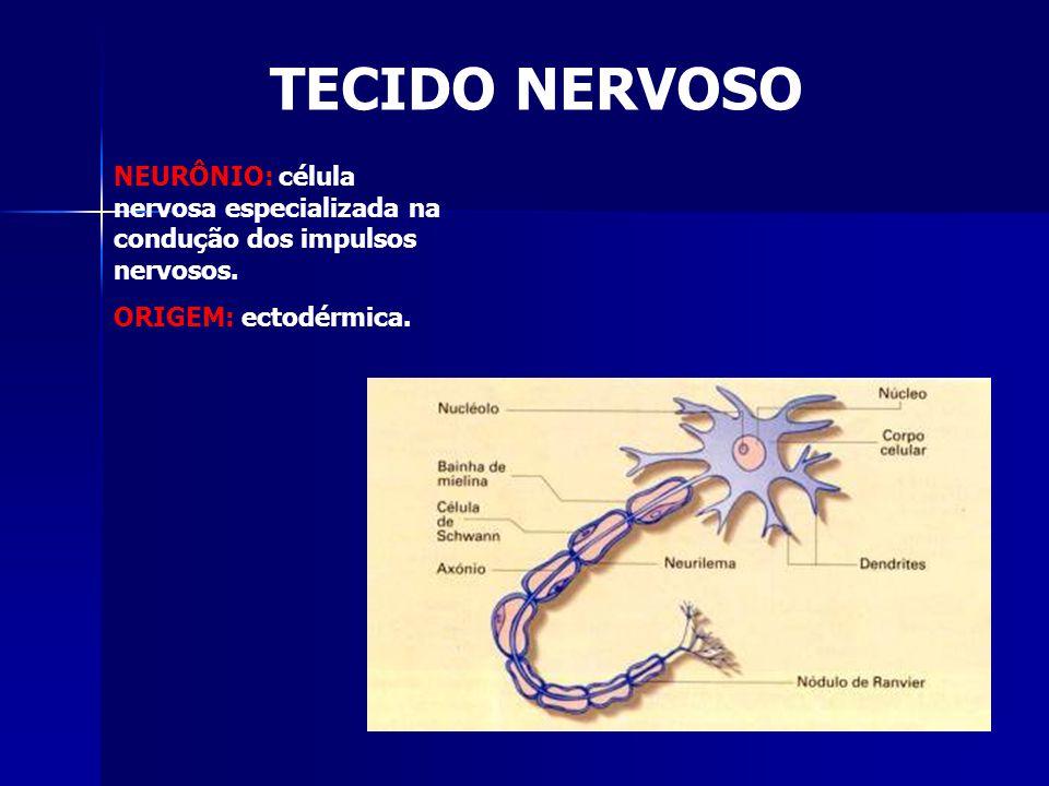 TECIDO NERVOSO NEURÔNIO: célula nervosa especializada na condução dos impulsos nervosos.