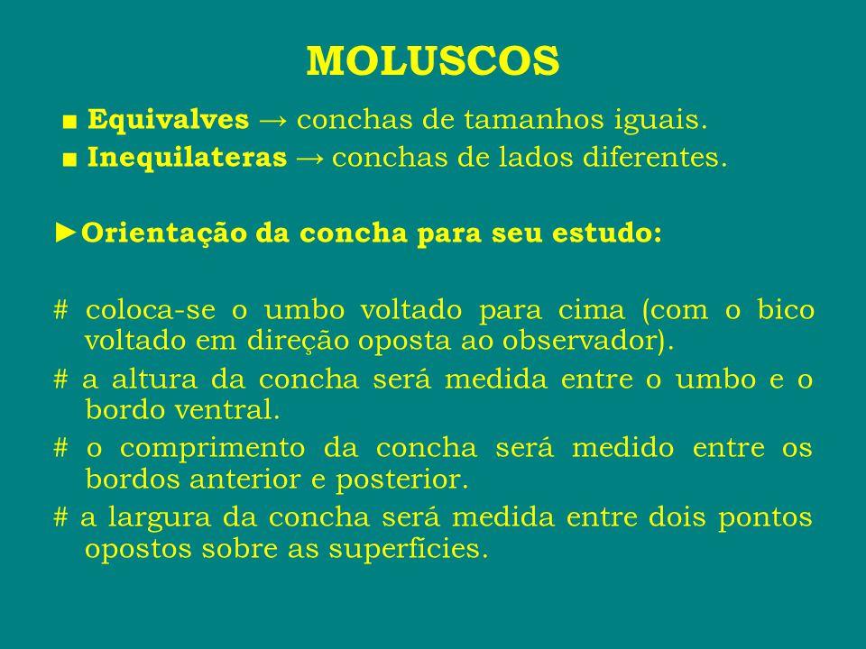 MOLUSCOS ■ Equivalves → conchas de tamanhos iguais.