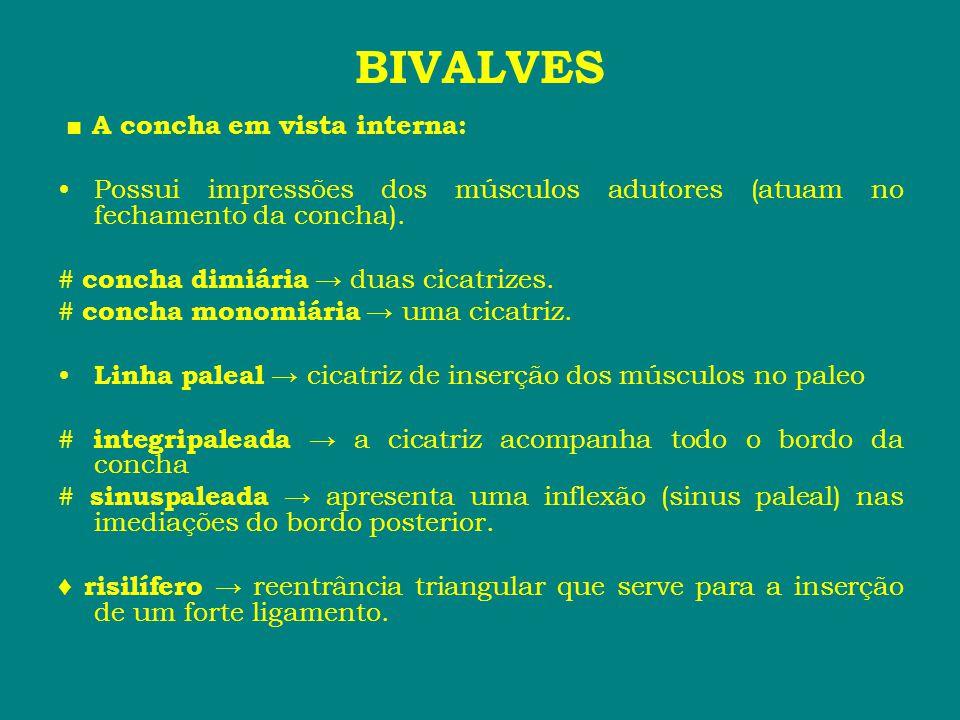 BIVALVES ■ A concha em vista interna: