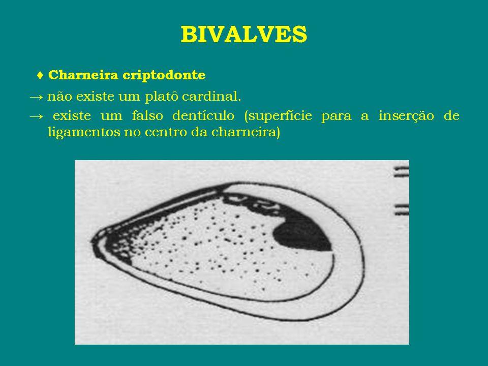 BIVALVES ♦ Charneira criptodonte → não existe um platô cardinal.