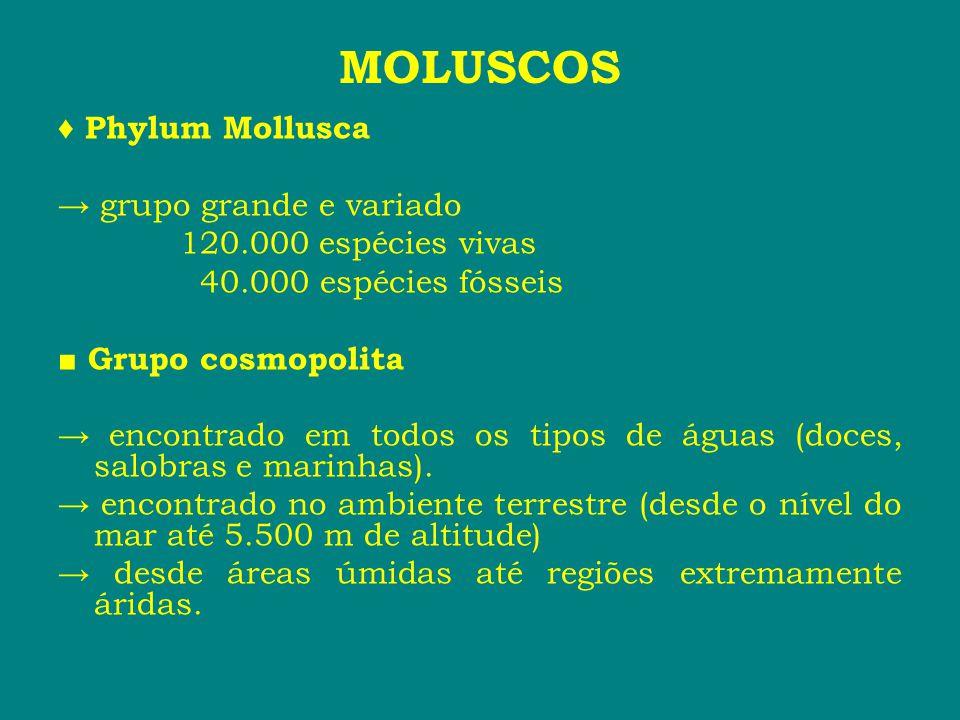 MOLUSCOS ♦ Phylum Mollusca → grupo grande e variado