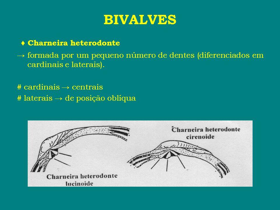 BIVALVES ♦ Charneira heterodonte
