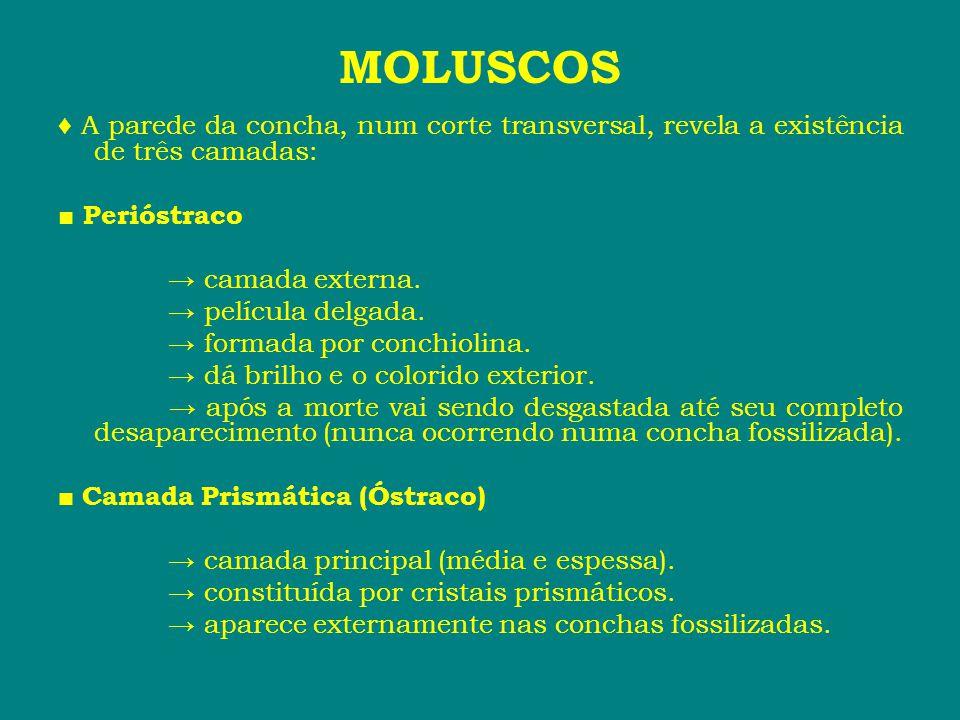 MOLUSCOS ♦ A parede da concha, num corte transversal, revela a existência de três camadas: ■ Perióstraco.