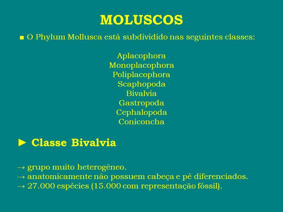 MOLUSCOS ► Classe Bivalvia