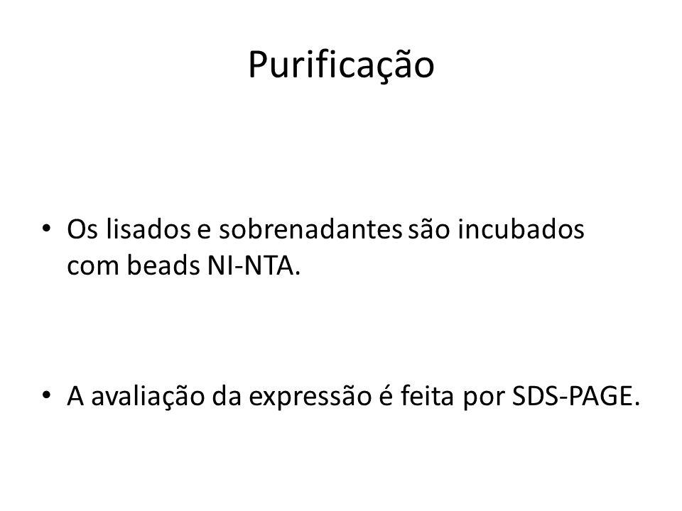 Purificação Os lisados e sobrenadantes são incubados com beads NI-NTA.