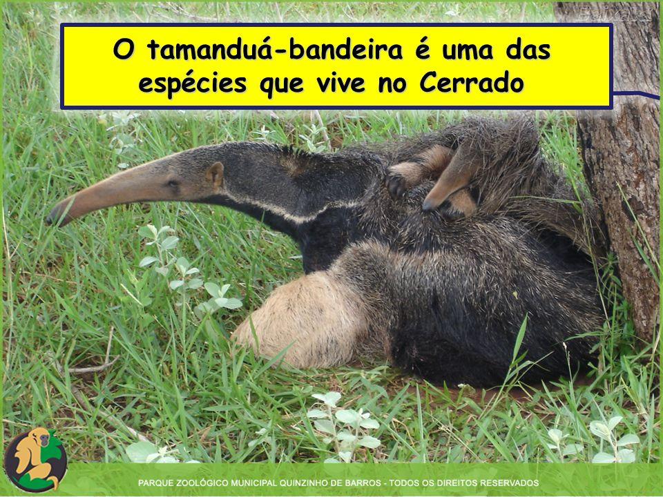 O tamanduá-bandeira é uma das espécies que vive no Cerrado