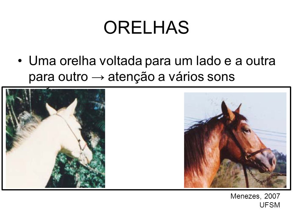 ORELHAS Uma orelha voltada para um lado e a outra para outro → atenção a vários sons. Menezes, 2007.