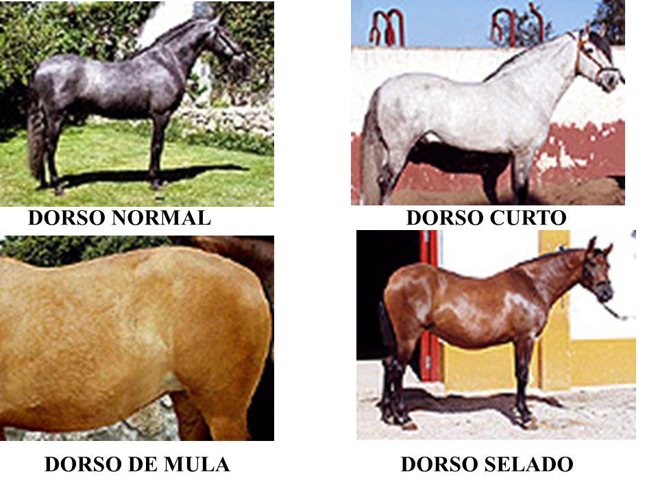 DORSO NORMAL DORSO CURTO DORSO DE MULA DORSO SELADO