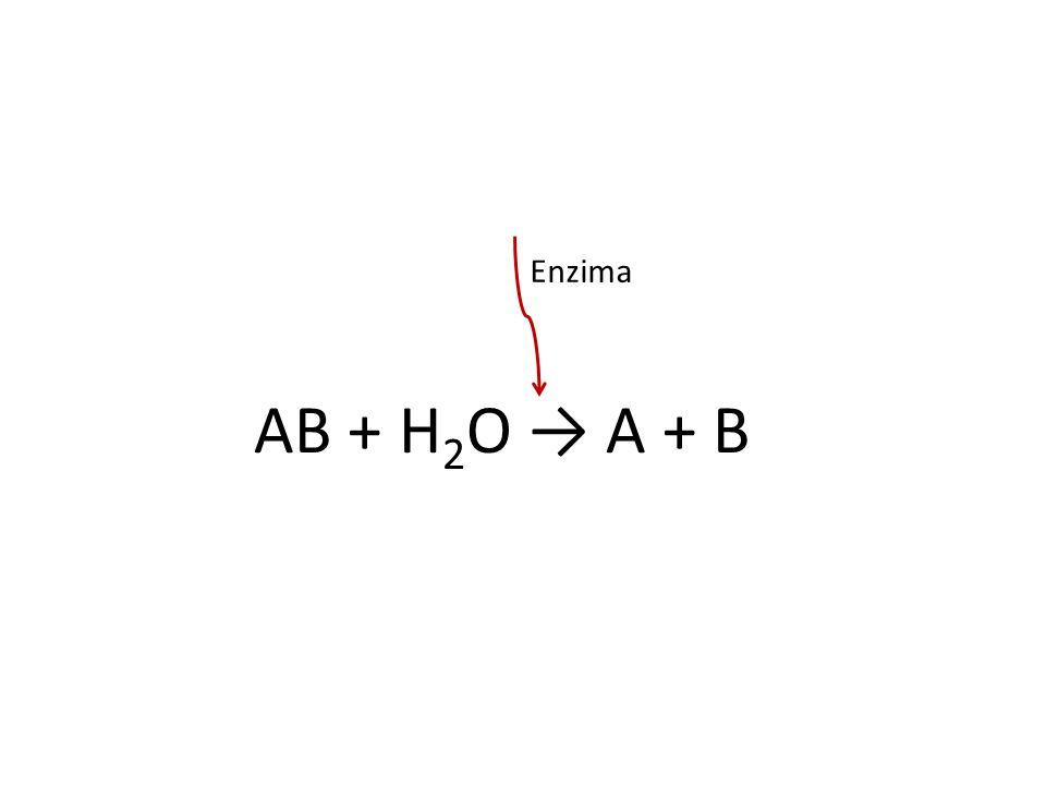 AB + H2O → A + B Enzima